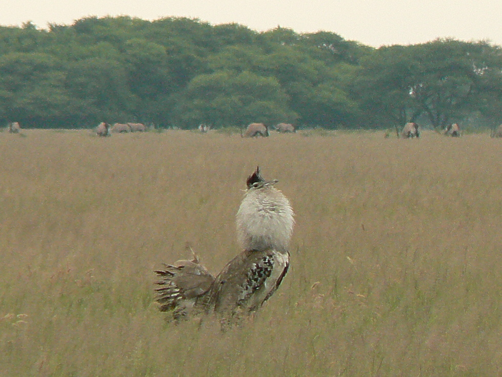 Kori Bustard in mating plumes